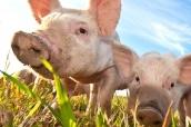 EFSA revisa el límite máximo de cobre en la alimentación animal